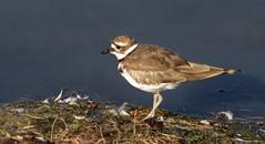 animal, charadriiformes, wing, fauna, calidrid, sandpiper, beak, bird, lark, wildlife,