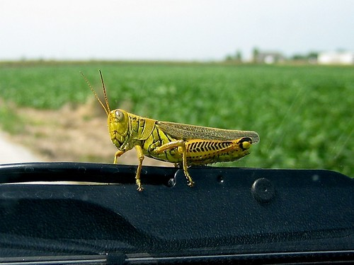 summer vacation insect stlouis grasshopper differentialgrasshopper riverlands melanoplusdifferentialis worldbest impressedbeauty flickrdiamond