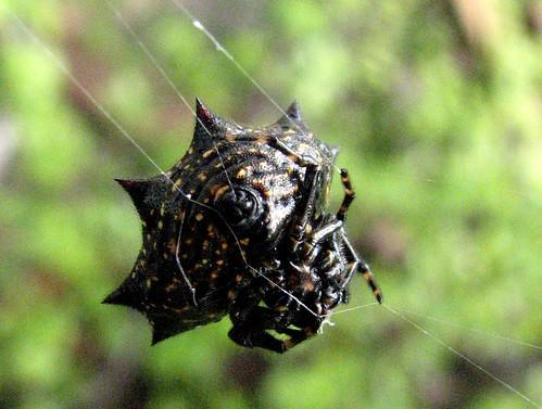 usa macro spider texas web harlingen ventral spinnerette overtheexcellence goldstaraward