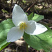 Small photo of Trillium ovatum Pursh
