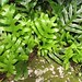 Hound's Tongue Fern - Photo (c) Jon Sullivan, some rights reserved (CC BY-NC)