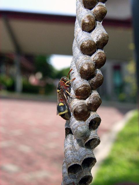 Wasp @ St. John's Island