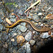 Northern Two-lined Salamander - Photo (c) Ken-ichi Ueda, some rights reserved (CC BY-NC-SA)