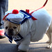 stay puft french bulldog
