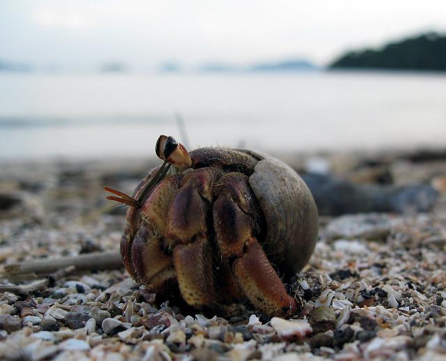 Coenobita (species?), hermit crab, Panamá