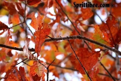 fall-oak
