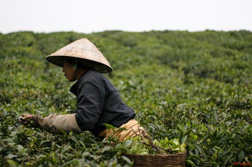 Harvesting tea @ Moc Chau