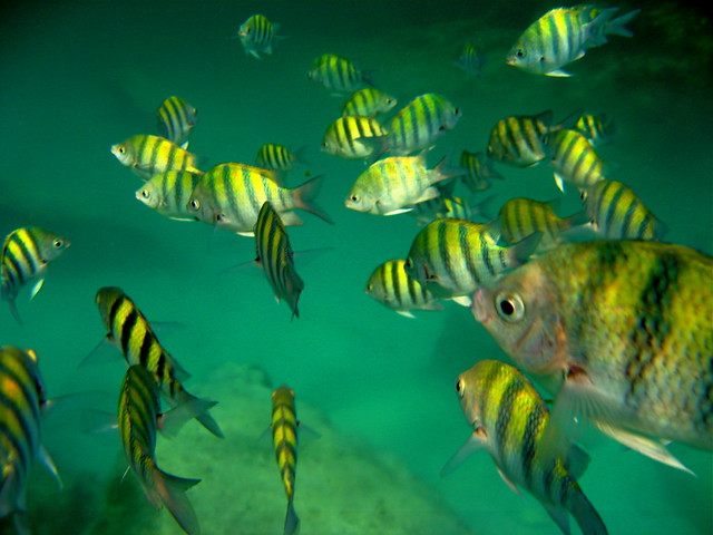 Lots of little yellow tiger striped fish flickr photo for Tiger striped fish