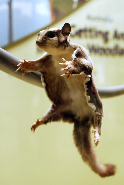 Flying Squirrel for web