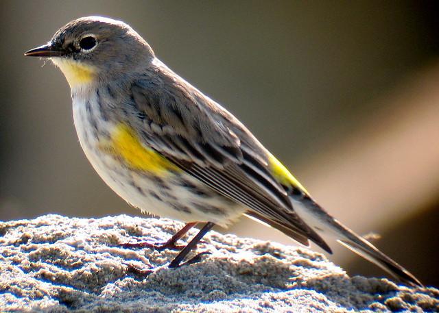 Yellow Rumped Warbler Audubon Audubon's Yellow-rumpe...