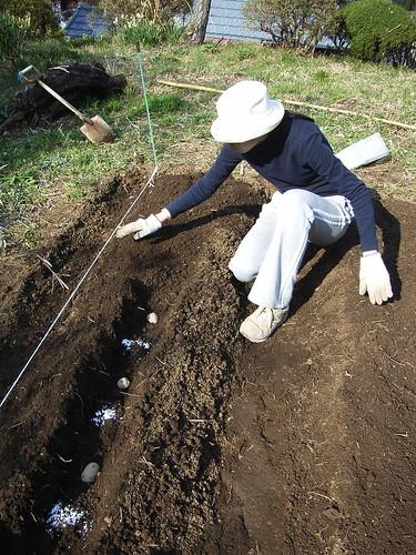 080325 ジャガイモの植え付け