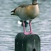 Small photo of Egyptian Goose(Alopochen aegyptiacus)