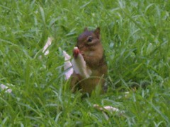 Chipmunk breakfast
