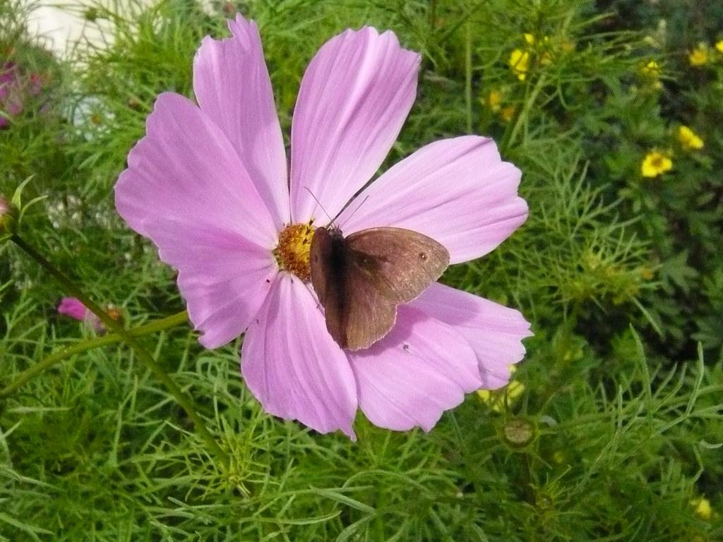 Meadow Brown Ochsenauge