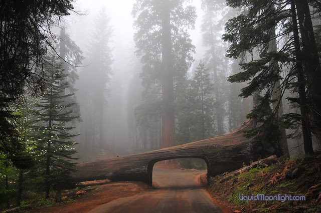 The Fallen Sequoia Redwood becomes a Tunnel, Sequoia National Park California