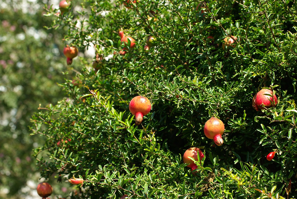 Pomegranate tree