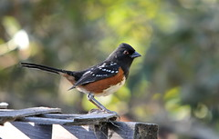 Spotted Towhee - Photo (c) sarbhloh, some rights reserved (CC BY-NC-ND)