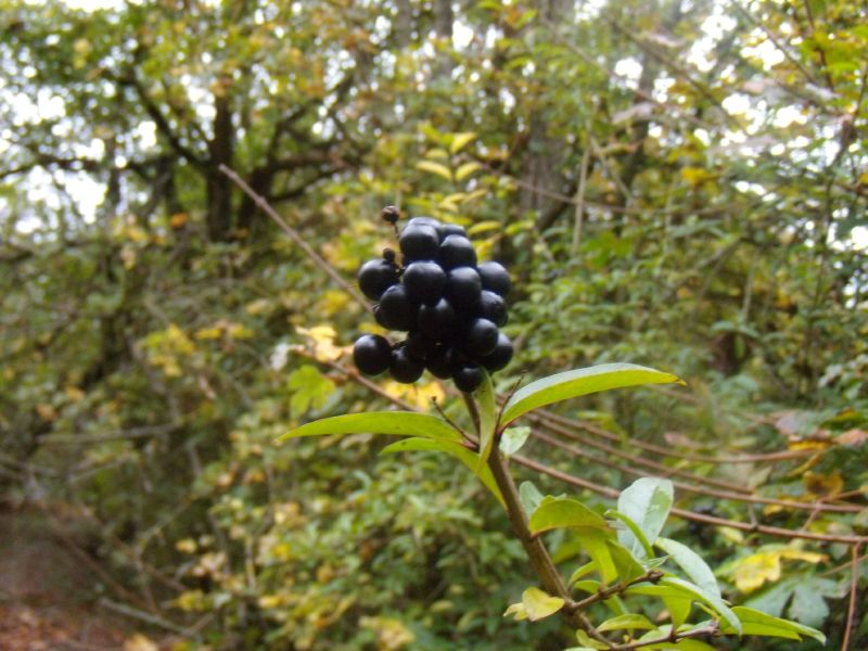 Privet berries Goring circular