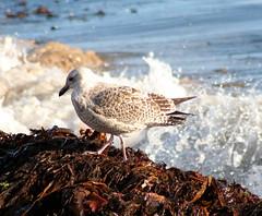 Different bird, same seaweed!