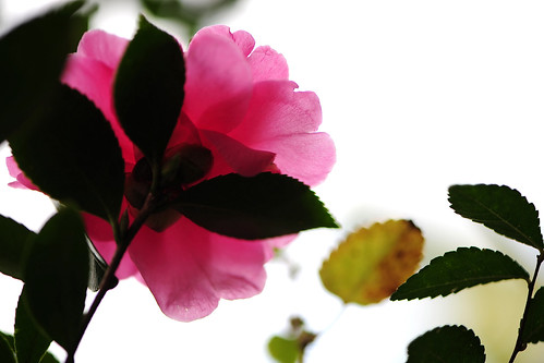 And the dainty pink camellia smiled as the son leaf affectionately touched his mother's face...