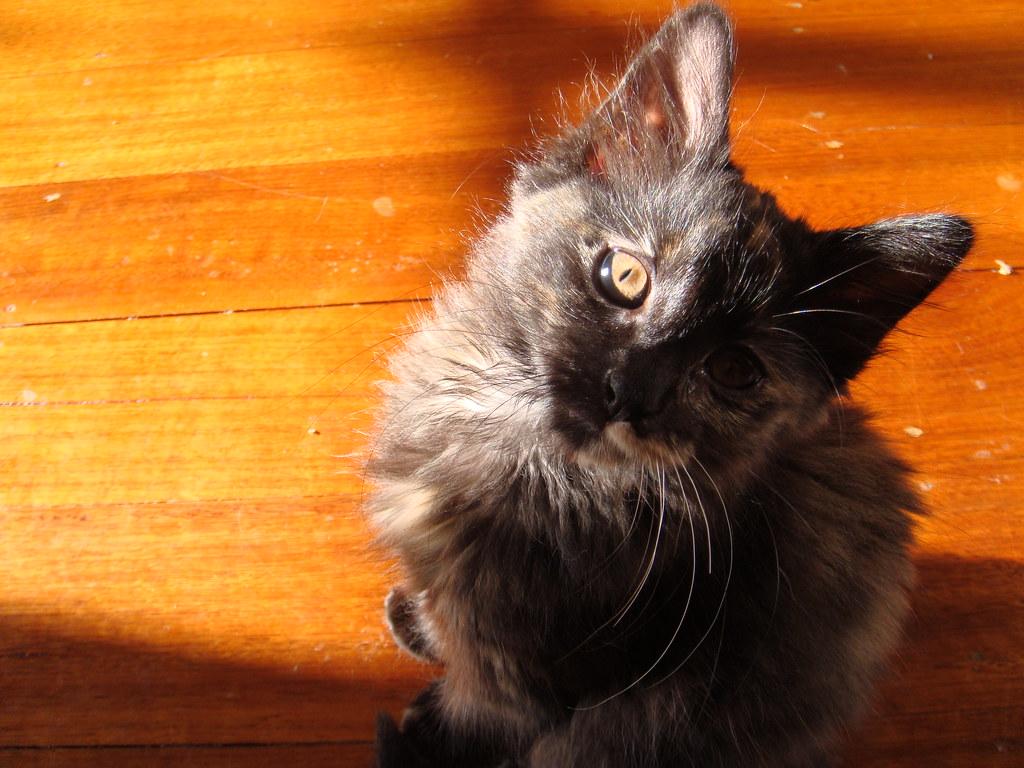 foster kitten Pearl