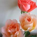 Peachy Roses