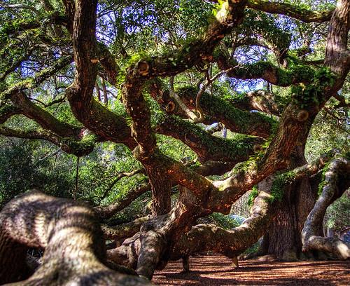 wood usa tree forest oak unitedstatesofamerica southcarolina charleston title hdr highdynamicrange angeloak johnsisland tamronspaf2875mmf28xrdildasphericalif
