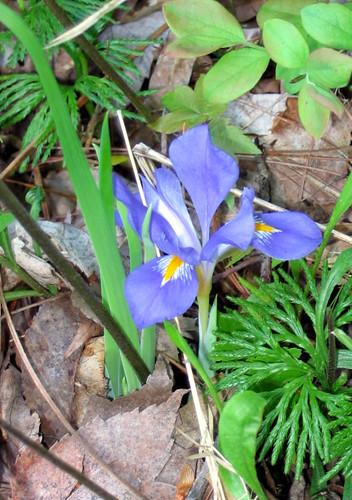 Iris verna, dwarf iris