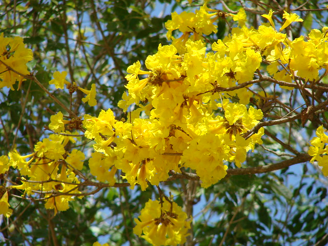 Yellow flowering trees a gallery on flickr flor silvestre 121 1 wild flower 121 1 araguaney mightylinksfo Image collections