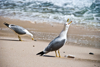 Attēls no Praia do Paraiso. ocean sea beach portugal strand faro meer seagull gull scream creativecommons algarve möwe vogel schreien title1 praiadocarvoeiro ilustrarportugal urlaubportugalalgarve2008 200804301650103632