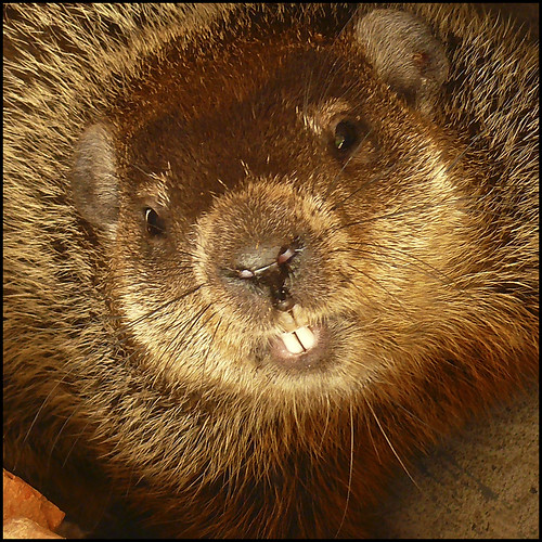 Wild Groundhog, Up Close & Personal