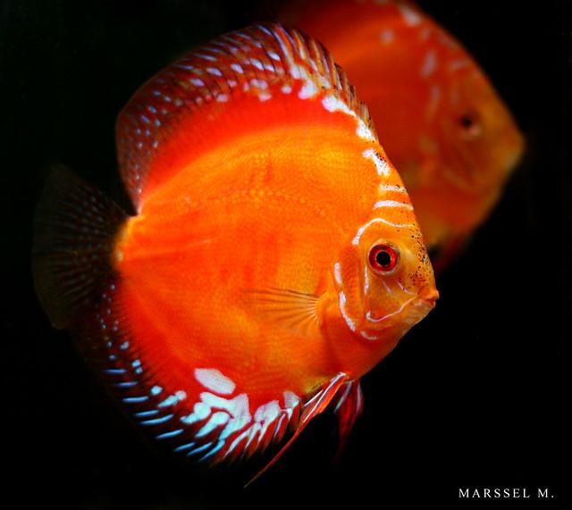 Discus Red Marlboro Flickr - Photo Sharing!