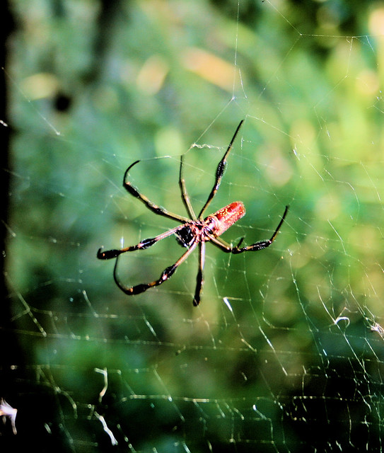 Red orb weaver flickr photo sharing - Spider graphix ...