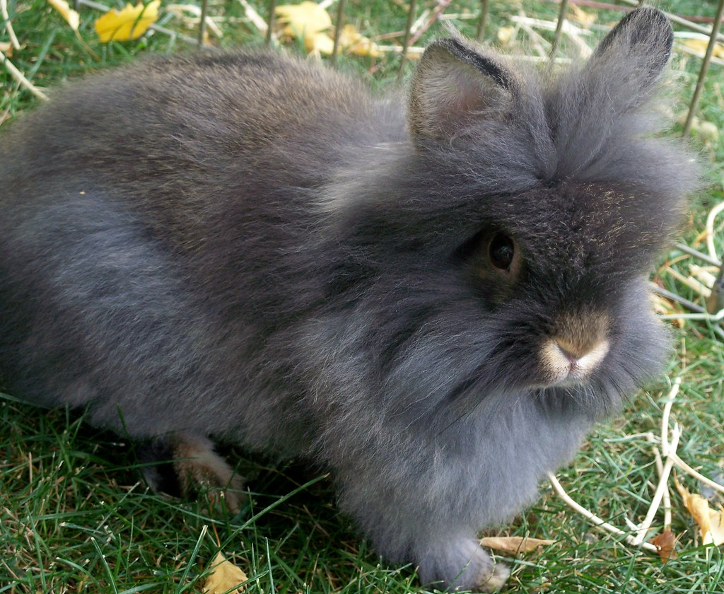 Baby dwarf rabbits for sale  NewsNow Classifieds
