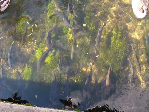 Ravenous trout