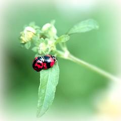 animal, ladybird, flower, invertebrate, insect, macro photography, green, fauna, close-up, beetle, plant stem,