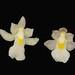 Capanemia superflua - duas variedades lado a lado