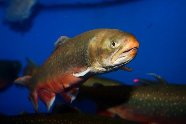Arctic char flickr photo sharing for Arctic char fish