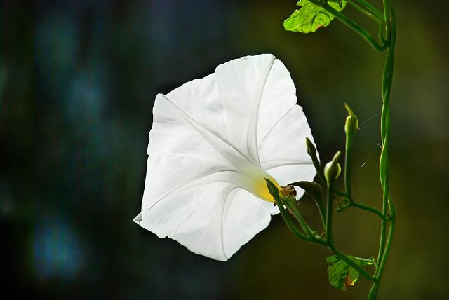 Very large white morning glory flower...   Flickr - Photo ...