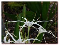 grass(0.0), hymenocallis(1.0), flower(1.0), leaf(1.0), hymenocallis littoralis(1.0), plant(1.0), wildflower(1.0), flora(1.0),
