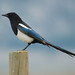 Black-billed magpie by canuck4everr