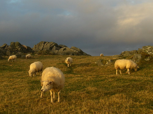 sauer i kveldssol - sheep in the evening sun