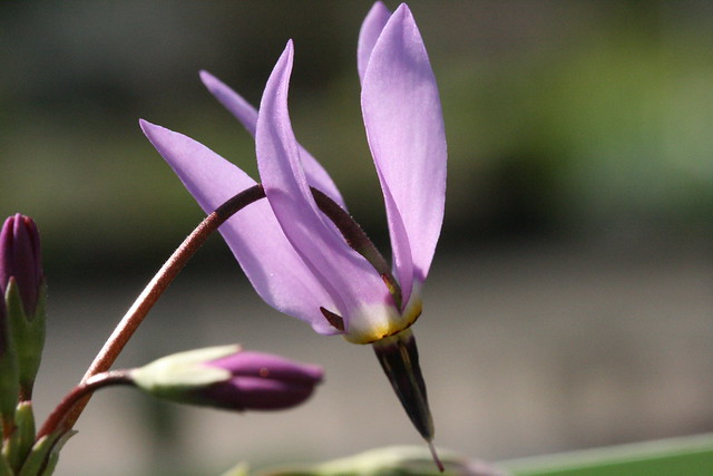 Dodecatheon amethystinum