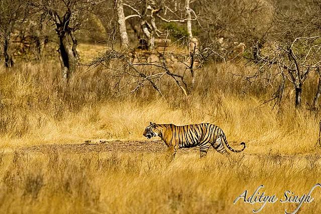 tiger habitat flickr photo sharing