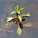 Ludwigia palustris