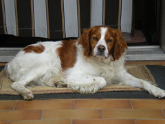cavachon(0.0), brittany(0.0), cavalier king charles spaniel(0.0), dog breed(1.0), animal(1.0), kooikerhondje(1.0), dog(1.0), welsh springer spaniel(1.0), pet(1.0), mammal(1.0), king charles spaniel(1.0), drentse patrijshond(1.0), spaniel(1.0), french spaniel(1.0), english springer spaniel(1.0),
