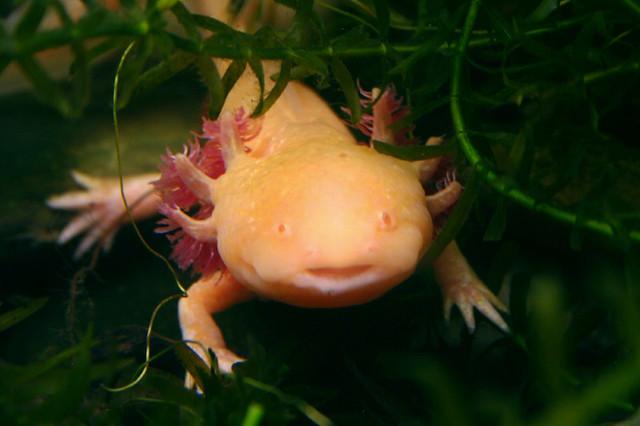 Ajolote Salamandra mexicana