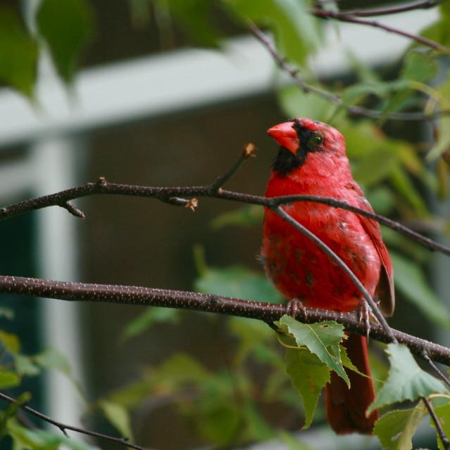 Cardinal male vu de la fen tre de notre chambre for Fenetre a cardinal