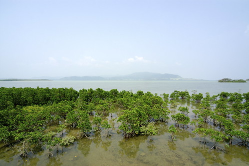 Mangrove of Rhizophoraceaes