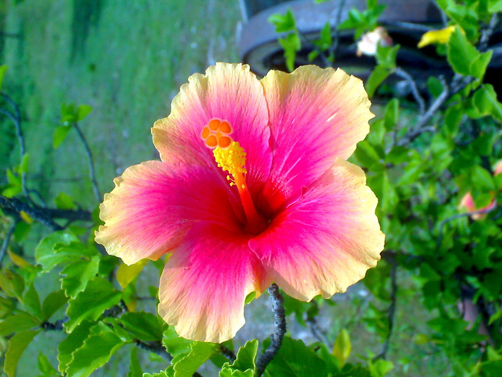 Hibiscus Are Very Beautiful With Yellow And Red 14